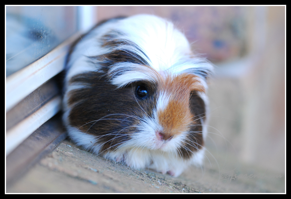 My 22 week old Guinea Pig, Shybrow!