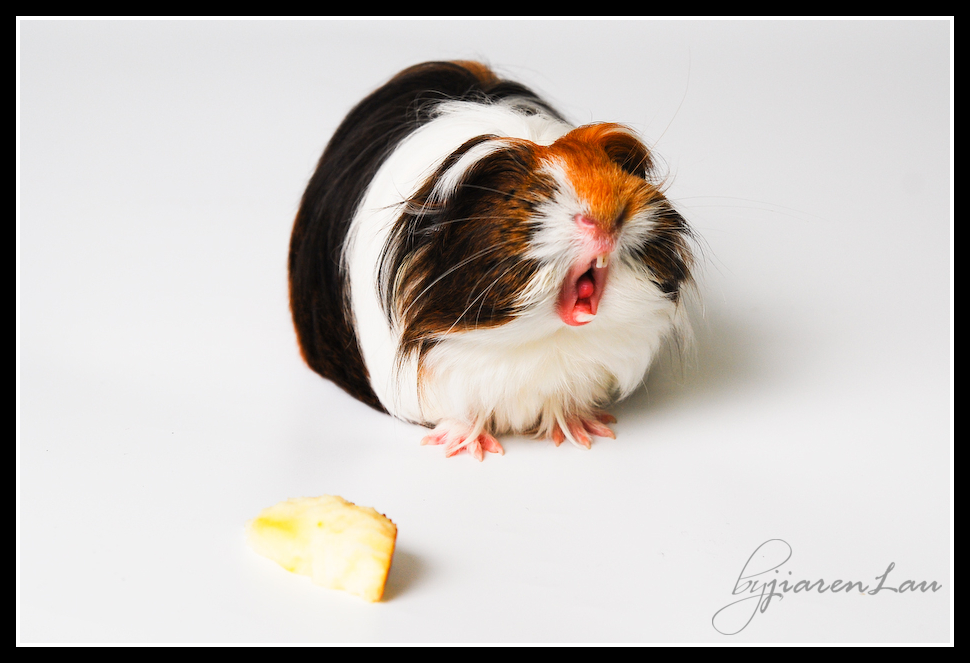 cutestguineapig-9180