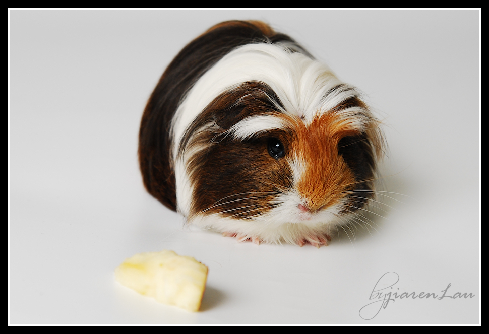 cutestguineapig-9189