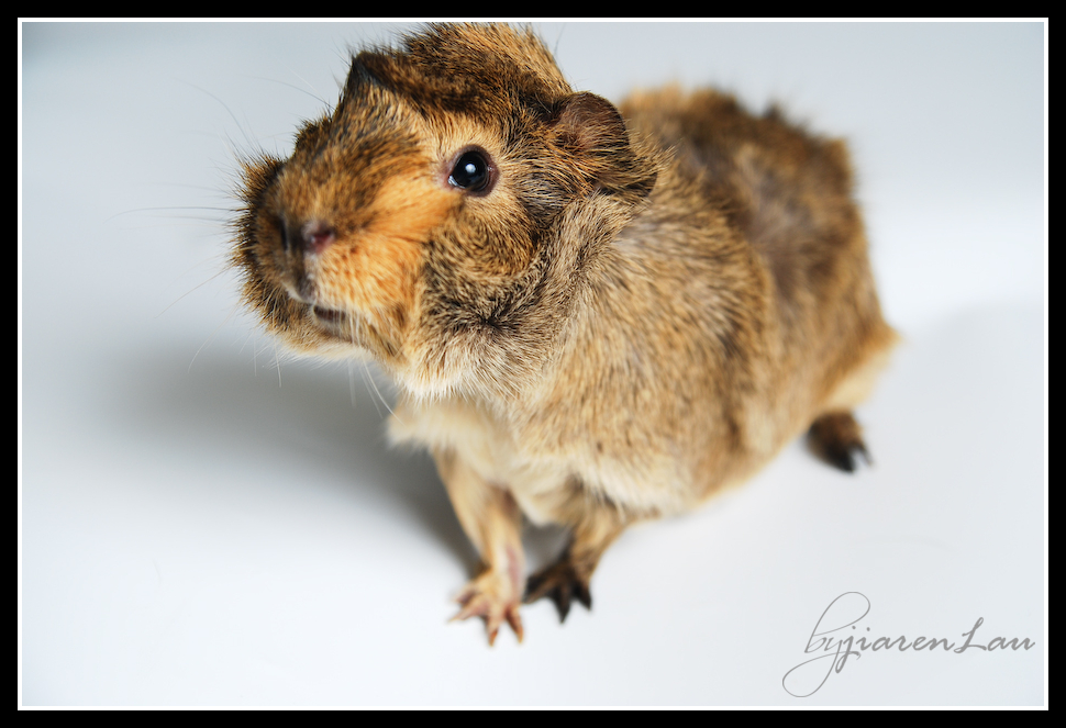 cutestguineapig-9323