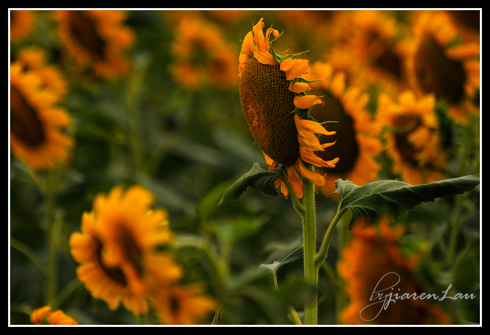 Sunflowers_By_Jiaren_Lau-0483