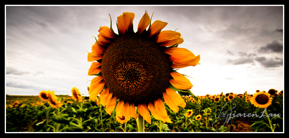 Sunflowers_By_Jiaren_Lau-0524