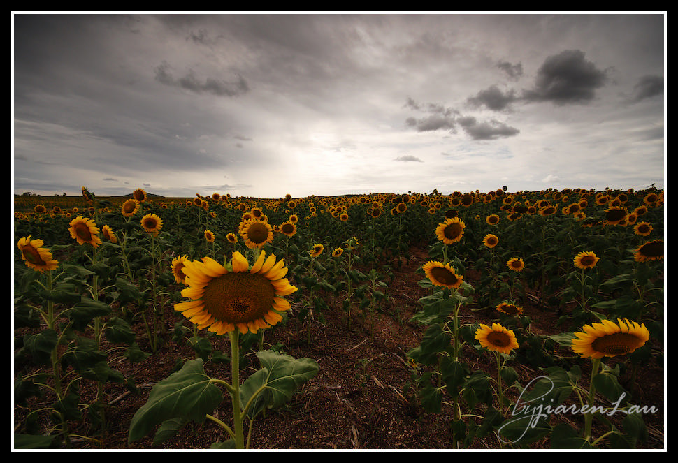 Sunflowers_By_Jiaren_Lau-0525