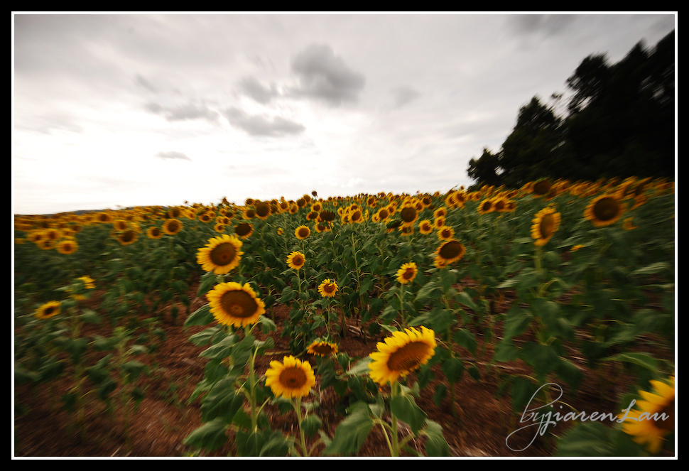 Sunflowers_By_Jiaren_Lau-0532