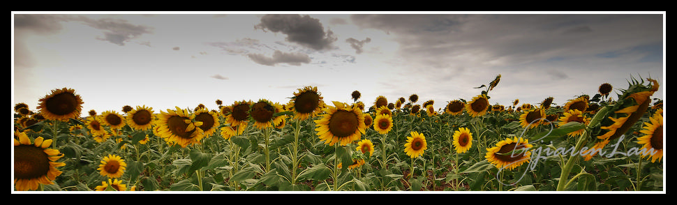 Sunflowers_By_Jiaren_Lau-0548