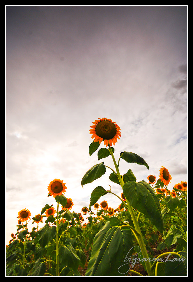 Sunflowers_By_Jiaren_Lau-0561
