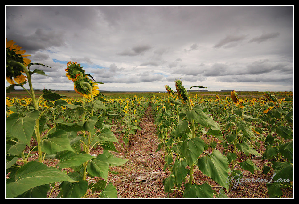Sunflowers_By_Jiaren_Lau-0592