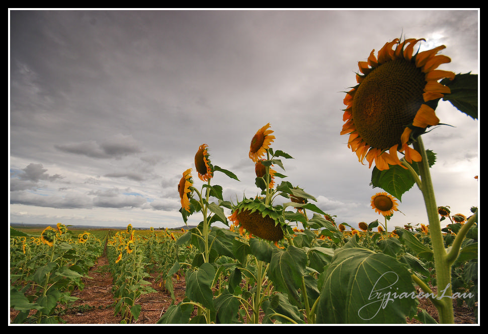 Sunflowers_By_Jiaren_Lau-0594