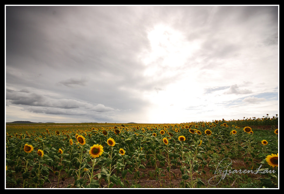Sunflowers_By_Jiaren_Lau-0598