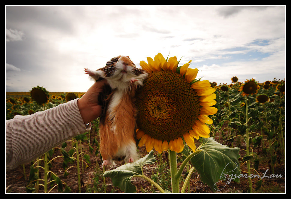 Sunflowers_By_Jiaren_Lau-0610