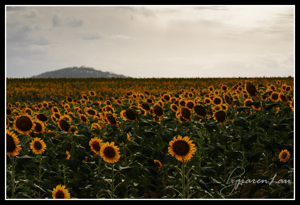 Sunflowers_By_Jiaren_Lau-0623